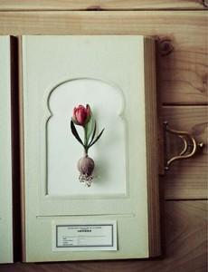 66_tulipa2